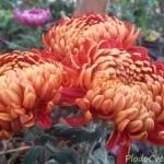 Хризантема горшечная Триумф