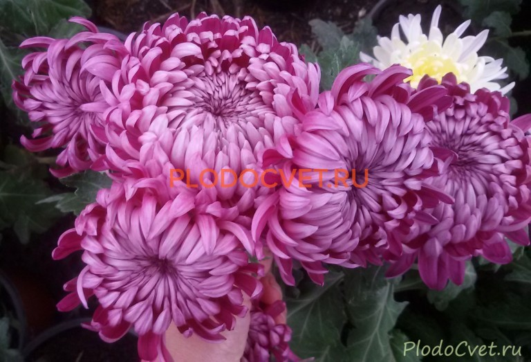Хризантема горшечная Кармелита