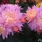 Хризантема горшечная Бойле Роза