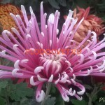 Хризантема горшечная Чусан