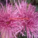 Хризантема горшечная Парпл Магнетик