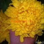 Хризантема горшечная Сафранел