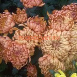 Хризантема горшечная Турболион