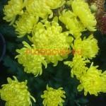 Хризантема горшечная Сакиа