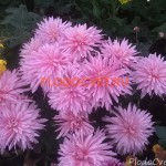 Хризантема горшечная Пантин роз