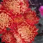 Хризантема горшечная Ришелье