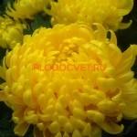 Хризантема горшечная Марица