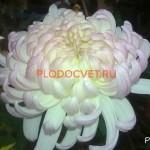 Хризантема горшечная Валес