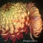 Хризантема горшечная Сир де Луи