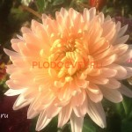 Хризантема горшечная Кучин