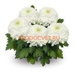 Хризантема горшечная Роялс