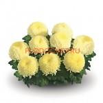 Хризантема горшечная Блондин