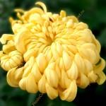 Хризантема крупноцветковая горшечная Сунберри