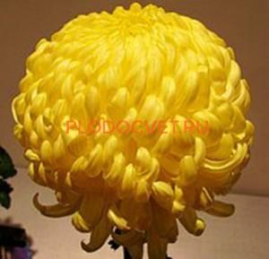Хризантемы Кремист Желтый