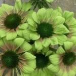 Echinacea Green Envy-Эхинацея «Green Envy» (Грин Энви)