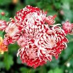 Хризантема Цимбале руж
