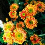 Хризантема Дайон,