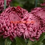 chrysanthemum 'Bigoudi Purple'.