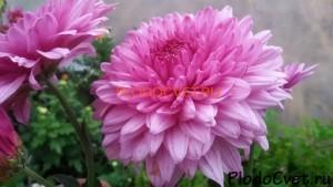 Хризантема корейская Подарок осени