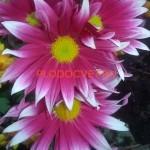 Хризантема горшечная Сприн Хилл