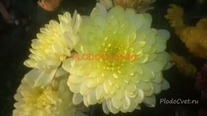 Хризантема Зембла крем