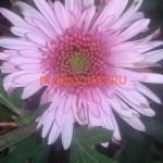 Хризантема Элеонора роз .