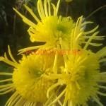 Хризантема Анесси Лимон