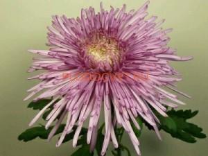 chrysanthemums westland regal.