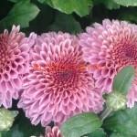 хризантема розовая маргаритка,ранняя, к.августа-н.сентября