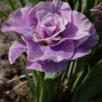 Ирис сибирский Пинк Парфет (Iris sibirica Pink Parfait)