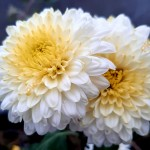 Хризантема корейская Элен белая