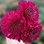 Хризантема крупноцветковая горшечная Мк Бриан