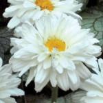 Нивяник ромашка садовая Викториан секрет.