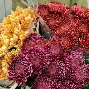 Хризантема крупноцветковая 'Bigoidi Red' Бигуди Ред и Бигуди Парпл