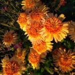 Хризантема корейская Бенгальские огни.