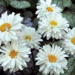 Нивяник ромашка садовая Викториан секрет