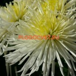 НОВИНКА Хризантема крупноцветковая Спайдер белый.