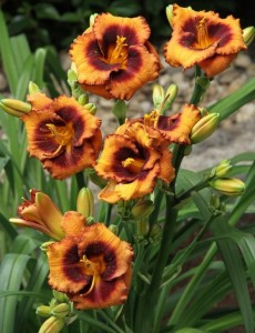 Hemerocallis Madeline Nettles Eyes (Лилейник Мэйдлин Неттлс Айз).