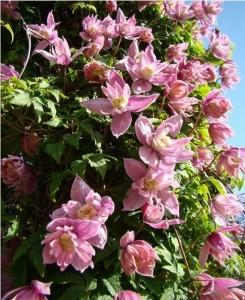 Княжик Markham's Pink (Маркхамс Пинк).