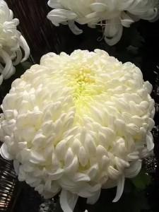 Хризантема Аполо