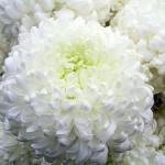 Хризантема Сноудон.