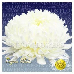 Хризантема Регина белая.