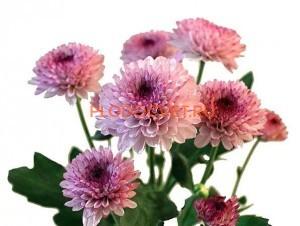 Хризантема Лоллипоп роз.