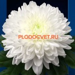 Хризантема Балтика белая.