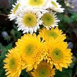 Хризантема Пума беллая и еллоу