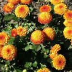 Хризантема корейская Аусма