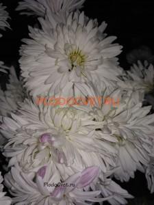 Хризантема корейская Белая ночь