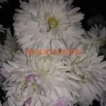 Корейская хризантема Белая-ночь.
