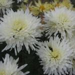 Хризантема корейская Белая-ночь