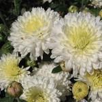Хризантема корейская Белоснежка